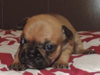 This puppy is a red fawn. She comes with full AKC,