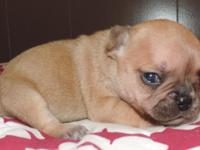 This puppy is a red fawn. She will come with full AKC,