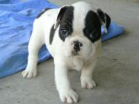 AKC French Bulldog Puppies Male: white w/ black spots -