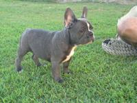 Have 3 puppies. Male-fawn. Female-blue / brindle.