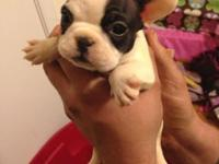 CKC mini dimension frenchy new puppies! Mother is 20lbs