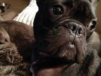 French Bulldog - Ranger - Large - Young - Male - Dog