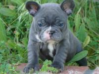 Animal Type: Dogs Breed: French Bulldog Our puppies are