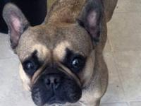 French Bulldog - Serafina - Small - Adult - Female -