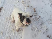 Nice healthy, lively French Bulldog. Likes to run and