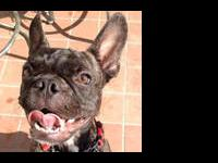 French Bulldog - Strummer - Small - Baby - Male - Dog