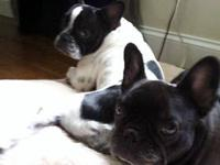 French Bulldog - Velvet - Medium - Adult - Female -