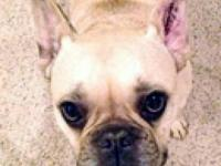 French Bulldog - Widget - Small - Adult - Male - Dog