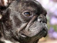 French Bulldog - Zipper - Medium - Adult - Male - Dog