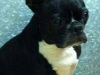 French Bulldog - Zoey - Small - Adult - Female - Dog