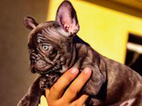 4 Akc female french bulldogs ready to go to their new