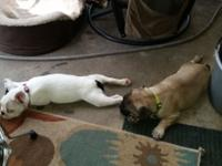 Two beautiful french bulldog girl puppies. WBA fully