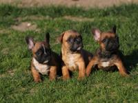 FCI French Bulldog puppy for sale! were born