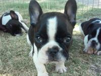 2 male French bulldogs 8 weeks old white with black