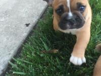 1 beautiful frenchie/English bulldog puppy left!!! He