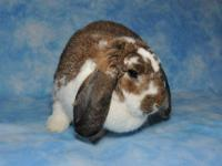 French - Lop - Jacqueline - Large - Young - Female -