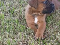 Fighter de Bordeaux. Mom (French mastiff) and daddy