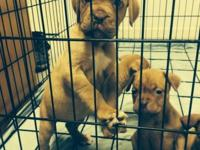 We have 4 female french mastiff puppies left that need