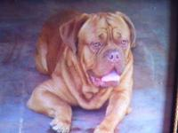 French Mastiff puppies for sale, also known as Dogue de