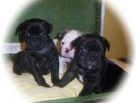 Wonderful little bulldogs brief and Stocky. They have