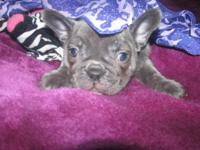 FRENCH BULLDOG LADY BUNNY $5000 IS AKC SILVER BLUE WITH