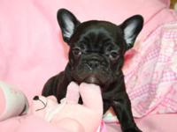 LEGEND PUPPIES. READY NOW French Bulldog puppies. AKC
