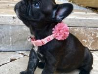 Two gorgeous female French Bulldogs for sale.