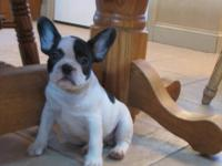 Handsome French Bulldog Pup, Male, Brindle & White.