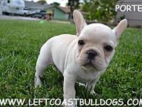 Porter AKC Registered Cream Color Male French Bulldog