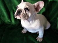 Very nicely built Light Cream Frenchie she is ready to