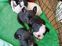 five beautiful Boy's Mom Boston terrier Dad French