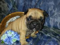 I have available 3 awesome AKC French Bulldogs puppies.