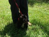 16 month old, male frenchie looking for a home. Enjoys