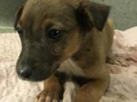 Hi! I'm Frenchie, an 8-week-old female boxer/Lab mix. I