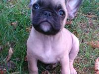 Frenchie Pugs are a hybred breed and is registerable