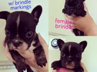 We have 2 females and 1 male AKC French bulldog puppies
