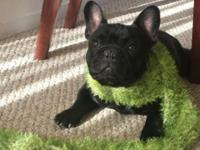 Hello Frenchie Lovers! I have a pure reproduced little