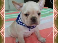 Beautiful French Bulldog Pups available for re-homing.