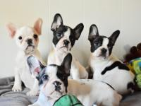 We have male & female frenchies available! ready now!!!