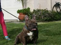 I have five handsomes male pups french bulldog Sire