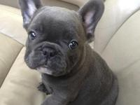 Awesome family raised French Bulldog puppies for