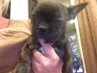 Female black brindle About 10 weeks old 900.00