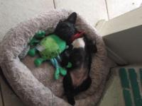 Female frenchton puppy 3 months old mother Boston