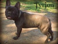 1 year old male brindle 75/25 Frenchton (intact) needs
