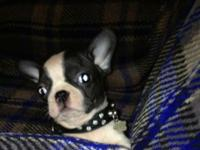 I have one 8 week frenchton male . He is 3/4 french