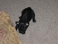 Beautiful black Frenchton ((boy)) Half French bulldog