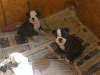 Adorable Frenchton puppies available on January 10th,