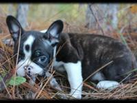 FRENCHTON PUPPIES - $1200. 1st Generation hybrid of