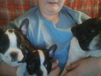 2 female Frenchton puppies. Father French Bulldog x