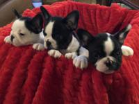 Champion bred m&f Frenchton puppies, 8 weeks old,